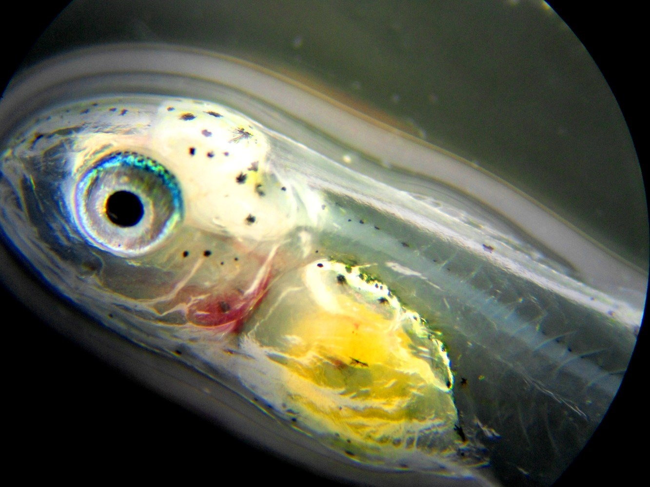 Sea bream larva